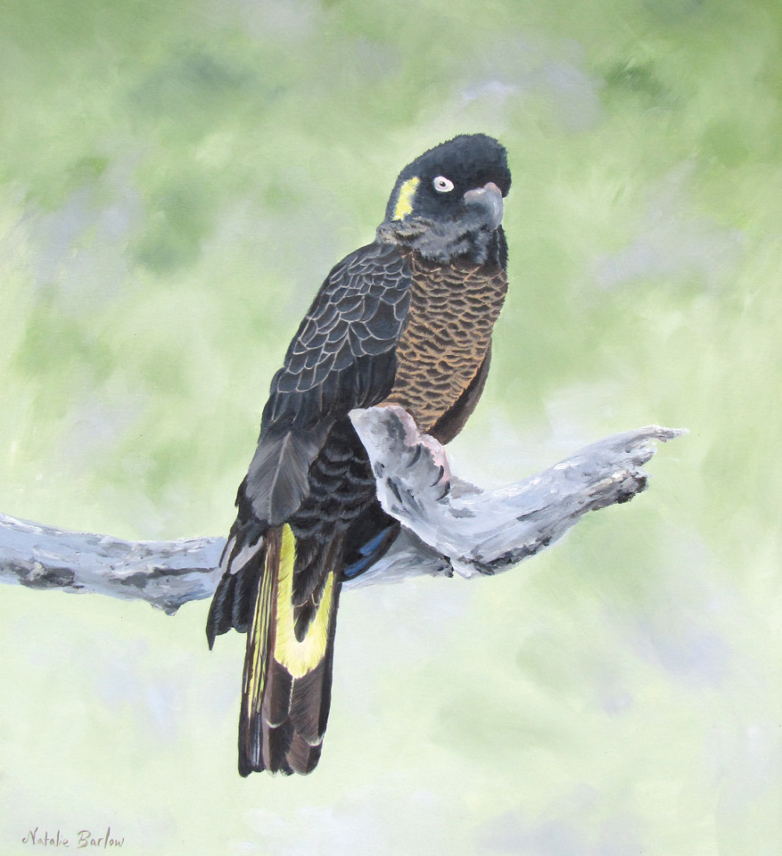 Yellow Tailed Black Cockatoo, 59x69cm, $340